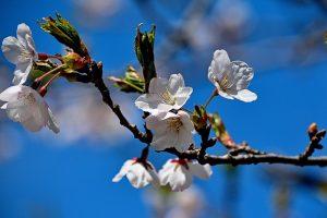 2014_Sakura_cherry_blossomss